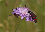 Six-spot Burnet - St. Jansvlinder_MG_4254