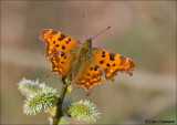 Comma butterfly - Gehakkelde aurelia_MG_7441