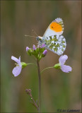 Orange tip - Oranjetipje_MG_7707