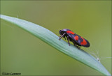 Black and red froghopper - Bloedcicade_MG_8175