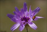 Catananche caerulea - Blauwe strobloem_MG_4722