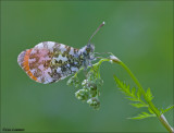 Orange tip - Oranjetipje_MG_8180