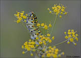 Swallowtail (caterpillar) - Koninginnenpage_MG_0853