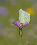 Brimstone - Citroenvlinder_MG_9924