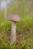 Birch bolete - Gewone berkenboleet - Leccinum scabrum