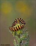 Cinnabar Moth - Sint Jacobsvlinder - Tyria jacobaeae
