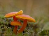 Vermillian waxcap - Gewoon vuurzwammetje - Hygrocybe miniata