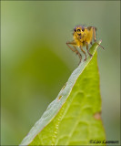 Yellow Dungfly _ Strontvlieg - Scathophaga stercoraria