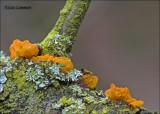 Yellow brain - Gele trilzwam - Tremella mesenterica