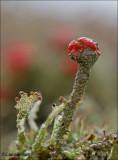 Bengal match lichen - Rode heidelucifer - Cladonia floerkeana