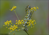 Swallowtail - Koninginnepage -  Papilio machaon