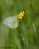 Green-veined White - Klein geaderd witje - Pieris napi