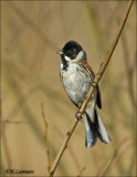 Common Reed - bunting - Rietgors