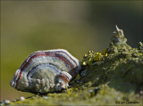 Turkey Tail - Elfenbankje -  Trametes versicolor