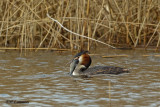Great Crested Grebe - Fuut