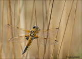Four spotted chaser - Viervlek - Libellula quadrimaculata