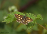 Chequered Skipper - Bont dikkopje - Carterocephalus palaemon