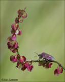 Sloe Bug - Bessenwants - Dolycoris baccarum