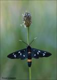 Nine-spotted moth -  Phegeavlinder - Amata Phegea