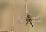Four-spotted chaser - Viervlek - Libellula quadrimaculata