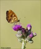 Lesser Marbled Fritillary - Purperstreepparelmoervlinder - Brenthis ino