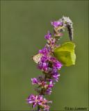 Common brimstone - Conepteryx rhami - Citroenvlinder  and Large chequered skipper - Spiegeldikkopje - Heteropterus morpheus