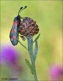 Six-spot burnet - Sint Jansvlinder - Zygaena filipendulae