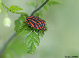 Striped Shieldbug - Pyjamawants - Graphosoma lineatum