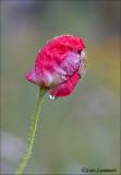 Holly Blue - Klaproos - Celastrina argiolus