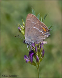 Blue spot hairstreak - Wegedoornpage - Satyrium spini