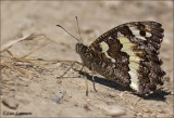 Great Banded Grayling - Witbandzandoog - Brintesia circe