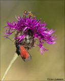 Tranparent burnet - Zygaena purpuralis