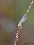 Common green lacewing - Gaasvlieg - Chrysopa peria