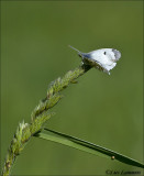 Orange tip - Oranjetipje - Anthocharis cardamines
