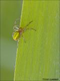 Cucumber spider - Gewone Komkommerspin - Araniella cucurbitina