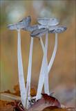 Haresfoot Inkcap - Hazenpootje - Coprinus lagopus