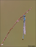 Common Blue Damselfly - Watersnuffel - Enallagma cyatigerum