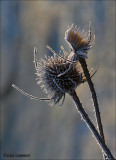 Wild Teasel - Grote Kaardebol - Dipsacus fullonum