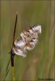 Common Cottongrass - Veenpluis - Eriophorum angustifolium