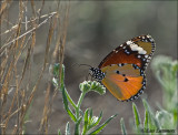 Plain Tiger (Danaus chrysippus)