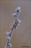 Frost on Common heather - Rijp op Struikheide