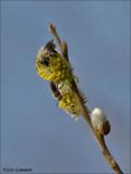 Solitary digger bee - Grijze zandbij - Andrena vaga