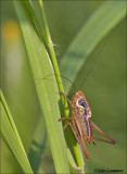 Roesel's bush-cricket - Greppelsprinkhaan - Roeseliana roeselii