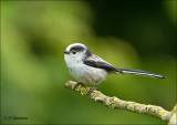 Longtailed Tit - Staartmees