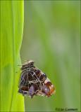 Map Butterfly - Landkaartje - Araschnia levana