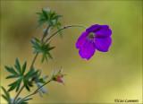 Mourning widow - Ooievaarsbek sp. - Geranium dissectum sp.
