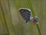 Baton blue - Klein Tijmblauwtje - Pseudophilotes baton