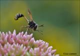 Conopid Fly - Gewoon knuppeltje - Physocephala rufipes