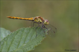Common Darter - Bruinrode heidelibel - Sympetrum striolatum