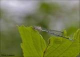 Azure Damselfly - Azuurwaterjuffer - Coenagrion puella